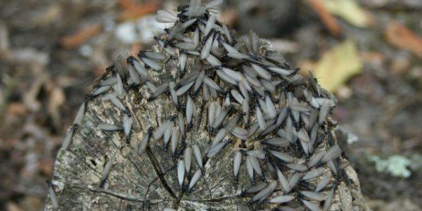 Tratamientos en madera - Eliminar Termitas