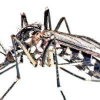 Eliminar plagas de mosquito tigre en Barcelona. Exterminar mosquitos.