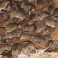 Como Eliminar ratas