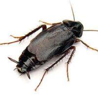 Eliminar Cucaracha oriental. Control de plagas