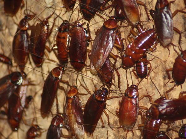Plaga de cucarachas en Barcelona
