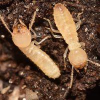 termita trabajadora. Eliminar Termitas