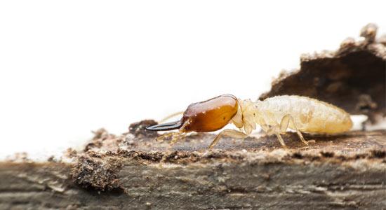 Eliminar termitas de vigas de madera