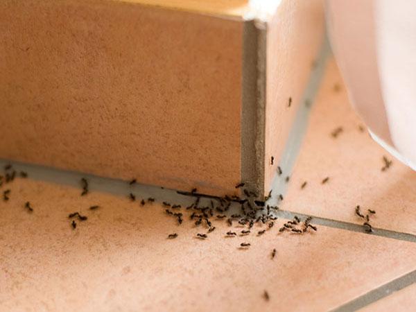 Desinfectar Hormigas. Fumigar hormigas.