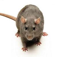 Eliminar ratas. Empresa de Barcelona. Fumigaciones. Exterminadores