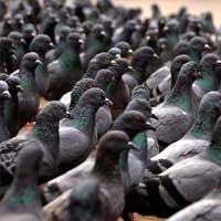aves_urbanas_palomas_2_200x200